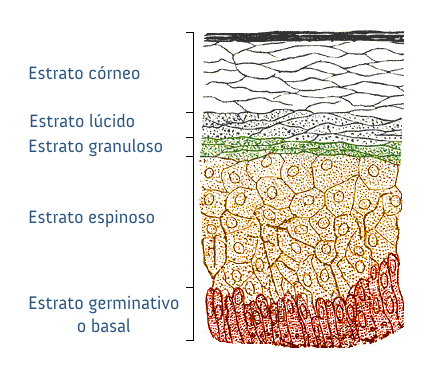 Changes in the epidermis over time. 2