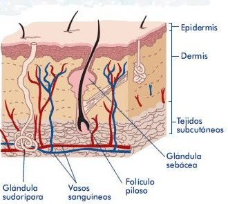 Changes that are produced in the sebaceous glands 2