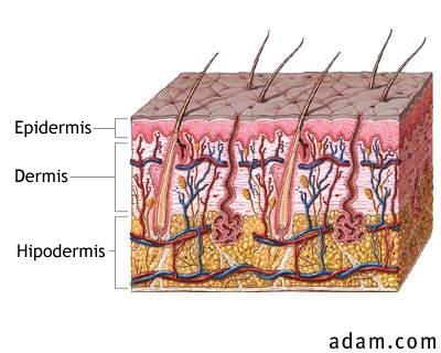 Changes which are produced in the hypodermis and dermis 2